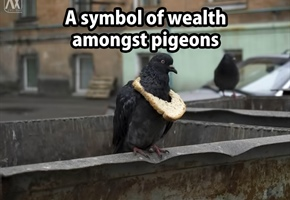 rich-pigeon.png